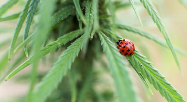 Cannabis-Verkauf erfolgreich gestartet Neufundland