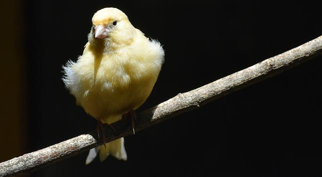 Kanarienvogel Singt Nicht